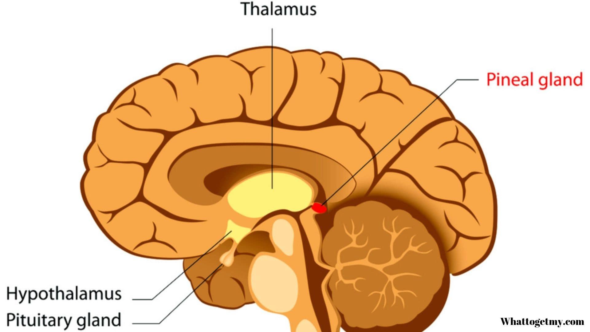 The pineal gland produces sleep hormones