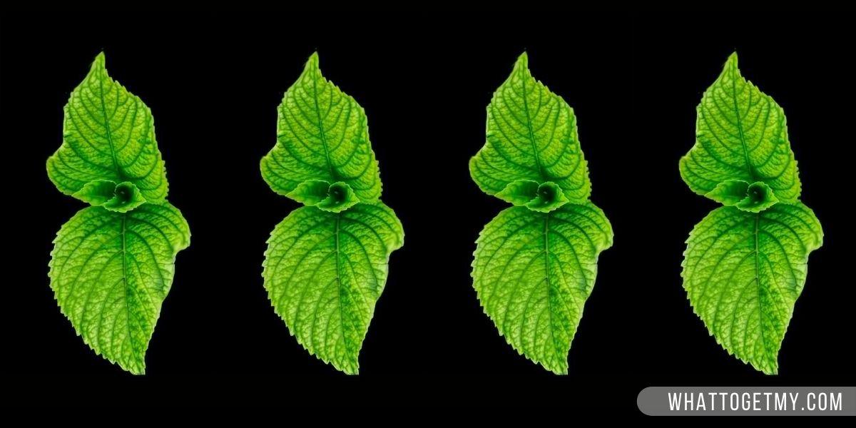 Mint (Alternative For Caffeine)